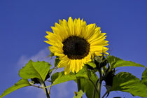 Sonnenblume vor blauem Himmel / Sunflower in front of blue sky von Werner Meidinger