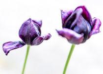 Tulpen 1 by Wilhelm Dreyer