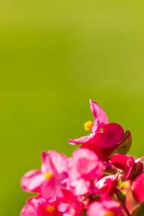 Rosa Begonie (Begoniaceae) von Thomas Schwarz