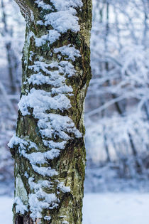 Schnee am Baumstamm von Thomas Schwarz