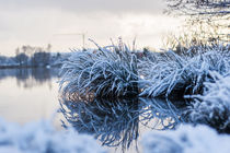Schneebedeckte Pflanze von Thomas Schwarz