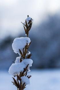 Pflanze mit Schnee bedeckt by Thomas Schwarz