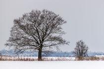 Zwei Bäume im Winter by Thomas Schwarz