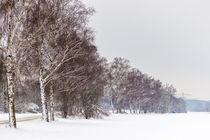 Birken im Winter von Thomas Schwarz