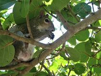 Florida Eichhörnchen auf einem Seetrauben-Busch von assy