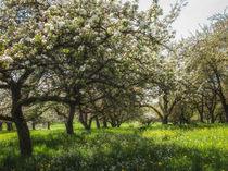 Blühende Obstbäume by Christine Horn