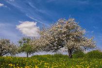 Blühende Obstbäume im Hegau by Christine Horn