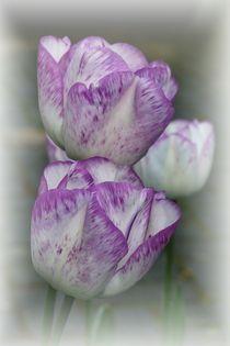 Tulpe 2018-6 von maja-310