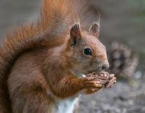 Eichhörnchen mit Nuss von micha-trillhaase-fotografie