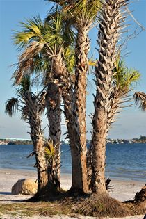 Fächerpalmen am Strand by assy