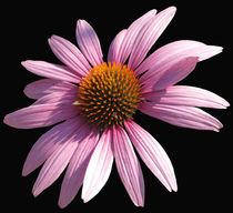 Blüte auf schwarzem Grund von yvi-mueller