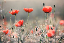 Poppies at sunrise von Sabine Schemken