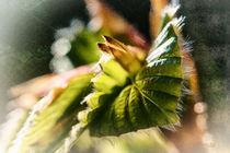 Hagebuche - Carpinus betulus von Nicc Koch