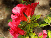 "Pomegranate (Punica granatum 'Wonder"") - Flowering trees by bebra"