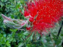 Red Bottlebrush Flower - Flowering Tree by bebra