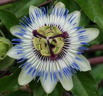 Blütenwunder von Hartmut Binder