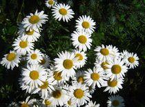 Margeriten-Blüten by assy