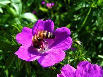"""Biene auf lila Steinbrech-Blüte ist eifrig bei der """"Arbeit"""" by assy"""