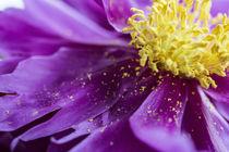 Blütenstaub auf Pfingstrosenblüte von Petra Dreiling-Schewe
