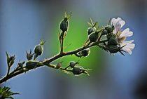 Brombeerblüte... 1 von loewenherz-artwork