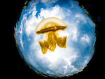 Jelly Fish by Sascha Caballero