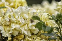 'Gelbe Rosen mit Biene' von Petra Dreiling-Schewe