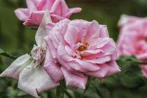 Pink Lady von Petra Dreiling-Schewe
