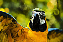 Macaw by Jim Corwin