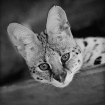 Serval / 4 by Heidi Bollich