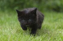 Maine Coon Kitten / 19 by Heidi Bollich