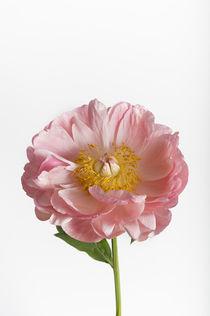 Flowers /1 von Heidi Bollich