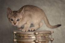 Singapura Kitten / 1 von Heidi Bollich