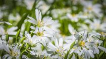 Blumen von koroland