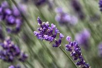 Lavendel von Petra Dreiling-Schewe