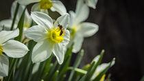 Wespe auf Narzisse by koroland