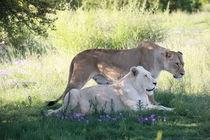 Braune und Weiße Löwin 7985 von thula-photography