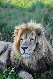 Löwen Männchen 8080 von thula-photography