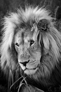 Löwen Männchen Portrait 8075 sw von thula-photography