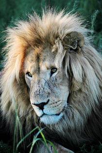 Löwen Männchen Portrait 8080 von thula-photography