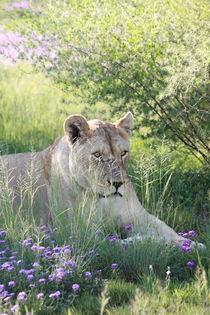 Löwen Weibchen im Gras 7981 by thula-photography