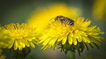 Wespe auf Löwenzahn von koroland