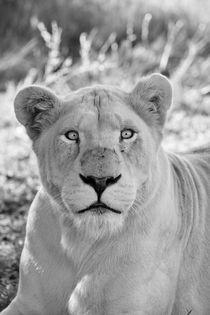 Weiße Löwin Portrait 7977 sw von thula-photography