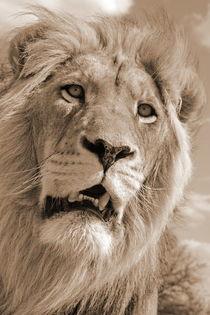 Lion King 5087 sepia  von thula-photography