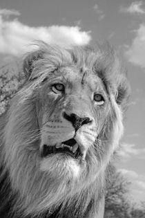 Lion King 5087 sw von thula-photography