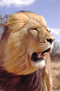 Lion King 5079 von thula-photography