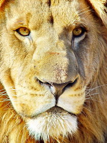 Lion Male Portrait 2528 von thula-photography