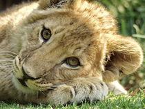 Löwen Baby 91242 von thula-photography