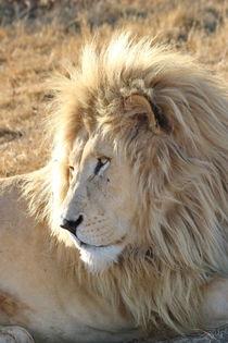 Weisses Löwen Männchen 903 von thula-photography