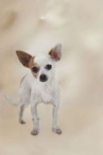 Chihuahua / 1