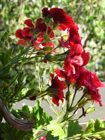 summer red by Irmgard Metzler